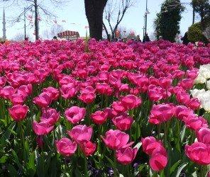 伊斯坦堡的春天被鬱金香喚醒(04.05)