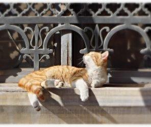 土耳其的国宝娇客-猫(kedi)