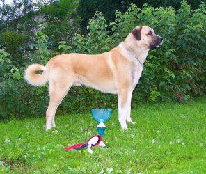 土耳其之犬-坎高犬(Kangal)