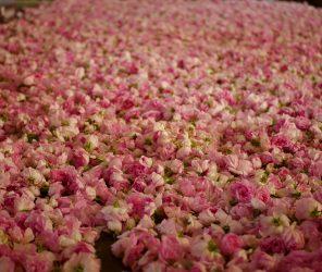 【季節限定】伊斯帕爾塔玫瑰採收遊